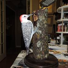 Red Belly Woodpecker - Woodworking Project by Rolando Pupo